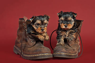 Yorkshire Terrier Puppies  Art Print by Marta Holka