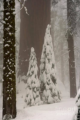 Photograph - Young And Old Sequoias by Mary Beth Dimijian
