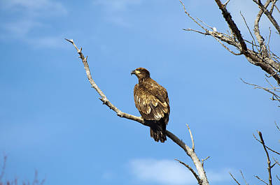 Photograph - Young Bald Eagle by Glenn Gordon