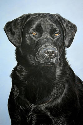 Young Black Labrador Print by Lucy Swinburne