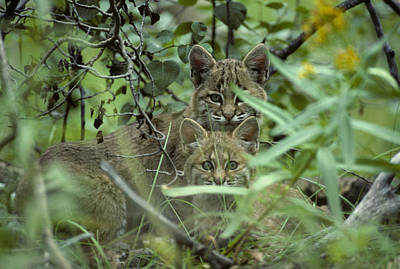 Bobcat Kittens Photograph - Young Bobcats by Michael S. Quinton