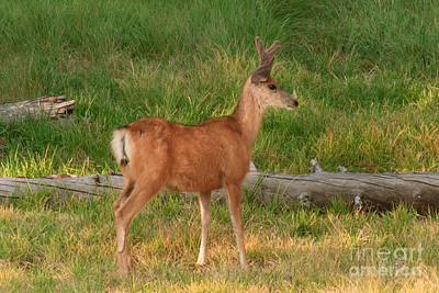 Photograph - Young Buck by Charles Kozierok