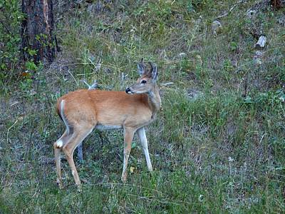 Photograph - Young Buck by HW Kateley