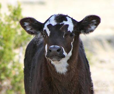 Photograph - Young Calf by Pamela Walrath