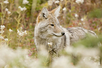 Young Coyote Canis Latrans In A Forest Art Print by Philippe Widling