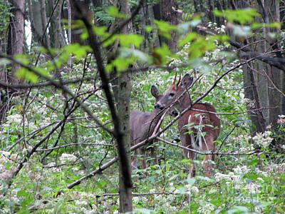 Young Deer In Flossmoor Forest Art Print by Cedric Hampton