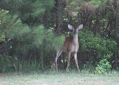 Photograph - Young Deer Peering Out Of The Woods by Jeanne Kay Juhos