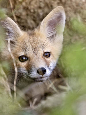 Wild Fox Digital Art - Young Fox Kit by Mark Duffy