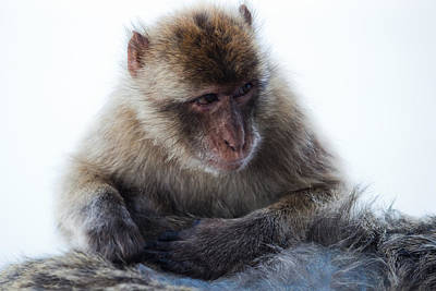 Nature Photograph - Young Gibraltar Macaque by Marc Garrido