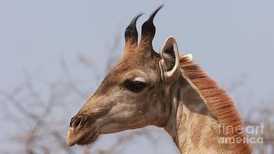 Photograph - Young Giraffe by Mareko Marciniak