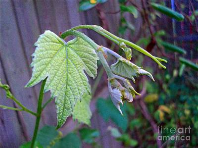 Tendrils Photograph - Young Grape Leaves by Padre Art