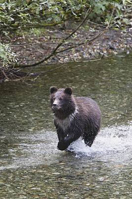 Nature Of Bear. Nature Of Bear In Water.grizzly Photograph - Young Grizzly Bear Cub Running Through by Richard Wear