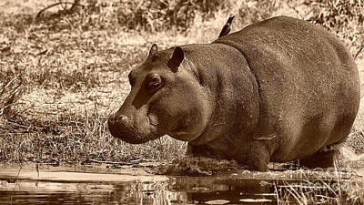 Photograph - Young Hippo by Mareko Marciniak