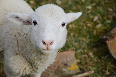 Y120817 Photograph - Young Lamb by CWalk