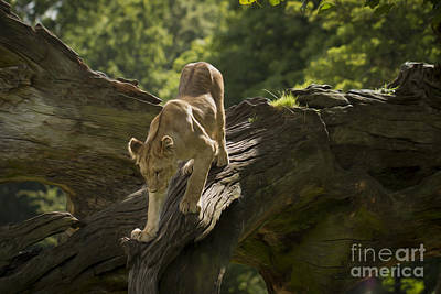 Photograph - Young Lion Stalking by Clare Bambers