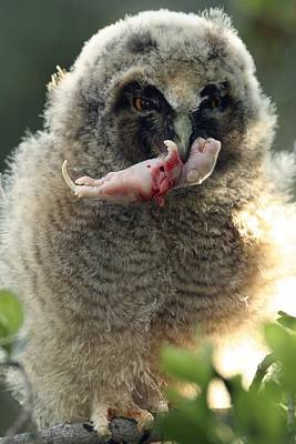 Birds Of Israel Photograph - Young Long-eared Owl Feeding by Photostock-israel