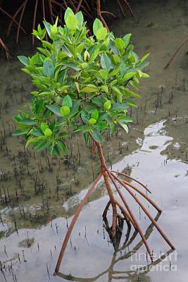 Young Mangrove Tree Original
