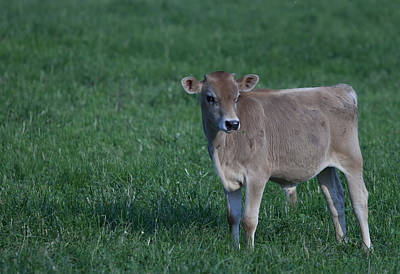 Photograph - Young Moo by John Crothers