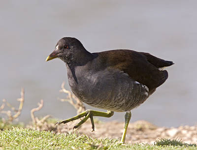Moorhen Photograph - Young Moorhen by Bob Gibbons