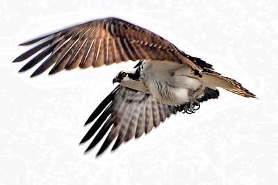 Wildlife Digital Art - Young Osprey Practice Flight by Don Mann
