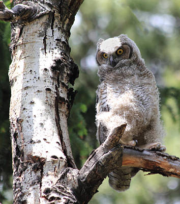Nature Photograph - Young Owl by Shane Bechler