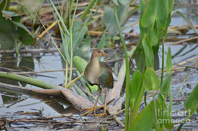 Young Purple Gallinule Art Print by Kathy Gibbons