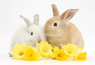 House Pet Photograph - Young Rabbits With Daffodils by Mark Taylor