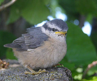Baby Bird Photograph - Young Red-breasted Nuthatch No. 2 by Angie Rea