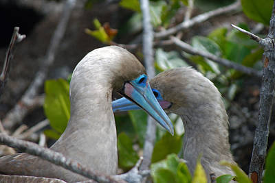 Photograph - Young Red-footed Boobys by Harvey Barrison