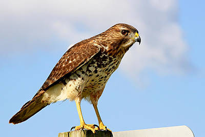 Photograph - Young Red Shouldered Hawk by Ira Runyan