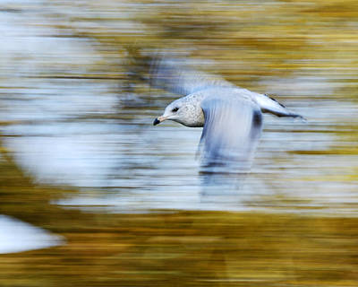 young Ring-billed Gull Art Print by Tony Beck