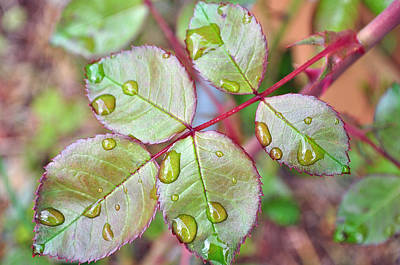 Photograph - Young Rose Leaves by Tikvah's Hope