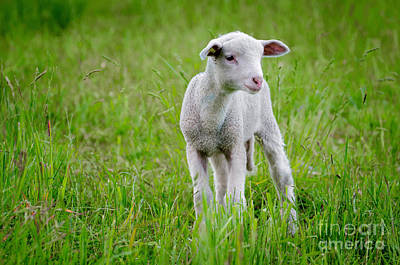 Animales Photograph - Young Sheep by Mats Silvan