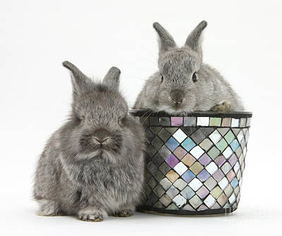 Rabbit Photograph - Young Silver Lionhead Rabbits by Mark Taylor