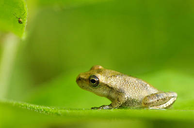 Spring Peepers Photograph - Young Spring Peeper Pseudacris Crucifer by Steeve Marcoux