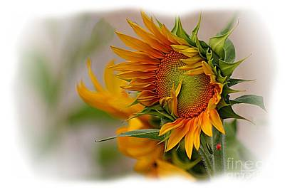 Young Sunburst Art Print by John  Kolenberg