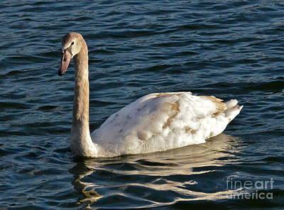Photograph - Young Swan II by Carol  Bradley