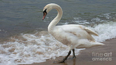 Photograph - Young Swan On The Beach by Mareko Marciniak