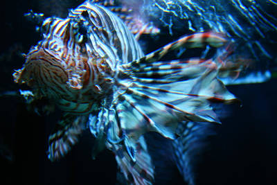 Your Lion Fish Art Print by Karl Reid