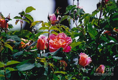 Photograph - Yummy Roses by Barbara Plattenburg