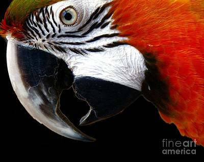 Zazzo The Macaw Print by Kevin Moore