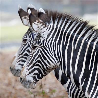 Y120831 Photograph - Zebra by Bronco - J. Heiligensetzer