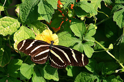 Photograph - Zebra Butterfly by Ira Runyan