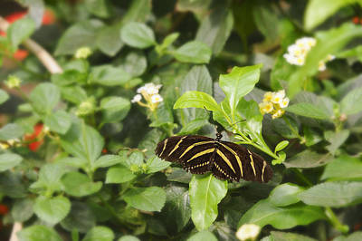 Photograph - Zebra Butterfly by Marianne Campolongo