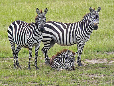 Photograph - Zebra Family by Tony Murtagh
