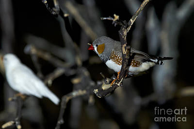 Photograph - Zebra Finch by JT Lewis