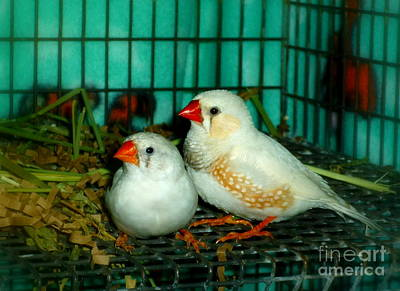 Photograph - Zebra Finch Pair by Renee Trenholm