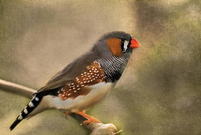 Photograph - Zebra Finch by Robin Webster