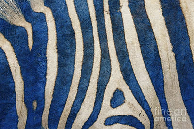 Zebra In Blue Art Print