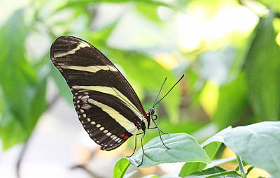 Becky Photograph - Zebra Longwing Butterfly by Becky Lodes